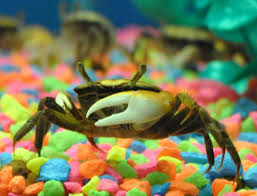 Decorator Crab Tank Mates by 8 Best Crab Tank Images On Crabs Aquariums And