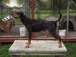 Best Hunting Dogs That Dont Shed by American Leopard Hound