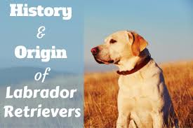 Chesapeake Bay Retriever Vs Lab Shedding by Labrador Retriever History Origins And Landmark Moments