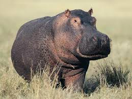 The Red Tint Of A Hippos Light Absorbing Sweat Lends To Their Characteristic Flush