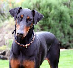 Do Miniature Doberman Pinschers Shed by Doberman Pinscher Dog Information Photos Dogexpress