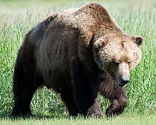 A Kodiak Bear Ursus Arctos Middendorffi Is Very Similar Physiologically To The California Grizzly Despite Pronounced Humpback
