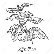 Coffee Plant Clipart Seed 66296