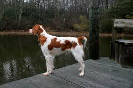 Do Brittany Spaniels Shed Hair by Brittany Dog Breed Information Pictures U0026 More