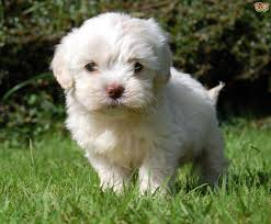 do cavapoos shed a lot cavapoo breed information buying advice photos and facts