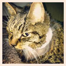 fatty liver cats feline fatty liver disease the journey of