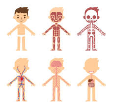 Know Top 10 Largest Organs Of The Human Body PROPEL STEPS