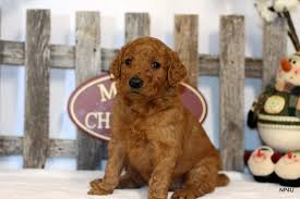 Do Pugs And Puggles Shed by Puppies For Sale Puggle Yorkie Goldendoodle Labradoodle Standard