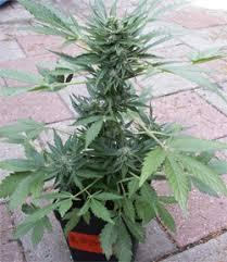quelles graines cannabis sont adaptees a la culture