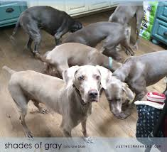 Do Long Haired Weimaraners Shed by Not Just A Short Coated Gray Dog Justweimaraners