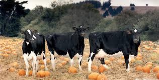 Mccalls Pumpkin Patch Employment by Mcclellandsdairy