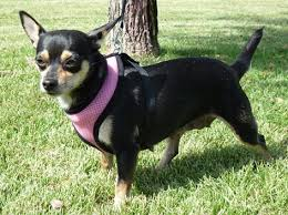 Do Long Haired Chiweenies Shed by Learn About The Chihuahua Dachshund Mix Aka The Cheweenie Dogable