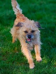 Do Border Terriers Shed by 15 Besten Border Terrier Bilder Auf Pinterest