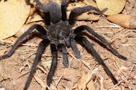 Do Tarantulas Shed Their Fangs by Cuyamaca Woods Mountain Journal Tarantulas Are Out And About