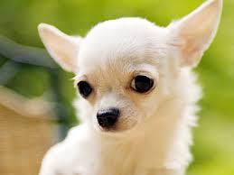 No Shedding Dog Breed by Low Shedding Dog Breeds Low Shedding Dog List