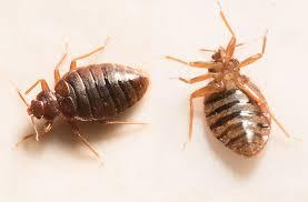 Bed Bug services Yuma AZ