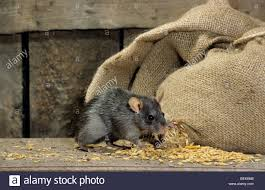 Black Rat (Rattus Rattus) In Barn Feeding On Corn From Bag Of ... Farmer Saves Rat From Death In Her Own Barn Redwood Coast Aazk Rat Poison Alternatives Mouse Poop Droppings Victor The Chicken Chick 15 Tips To Control Rodents Around Coops Black Rattus Rattus Foraging Of Farm Stock Photo Barn Owl About Enter Its Nest Carrying A Dead For Young Nose Work Hunt 44094 Kangaroo Rats San Diego Zoo Institute Cservation Research Mice And New York The Barn Rat Blog Remains Found Within The Wall During