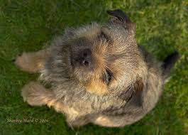border terrier breed notes