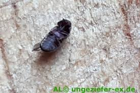 kleine braune käfer welche käferart ist das ungeziefer