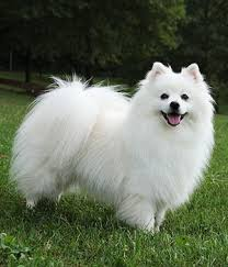 american eskimo dog small dog can t wait for my eskimo to get