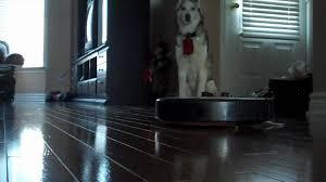 Siberian Cat Hair Shedding by Roomba 560 Automatic Vacuum Vs Siberian Husky Heavy