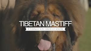 Cane Corso Mastiff Shedding by Tibetan Mastiff Five Things You Should Know Youtube