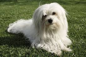 House Dogs That Dont Shed by 16 Dog Breeds That Don U0027t Shed Mnn Mother Nature Network