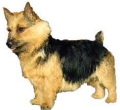 Hypoallergenic Non Shedding Small Dog Breeds by 104 Best Dogs Low Shedding Small Dogs Images On Pinterest