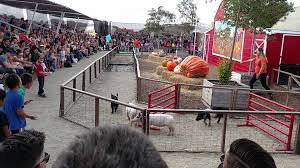 Moorpark Pumpkin Patch Underwood Family Farms by Underwood Farms Pig Race Youtube