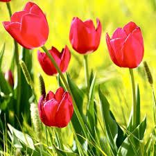 buy tulip bulbs for sale easy to grow bulbs