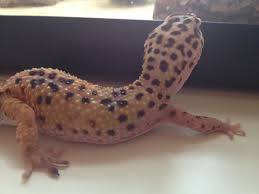 Crested Gecko Shed Box by I Have Leopard Gecko 8 Months Old He Is Yellow Color Two Days