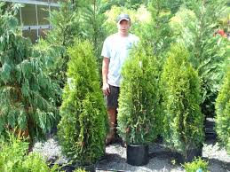 Outdoor & Landscaping: Stunning Emerald Green Arborvitae For Home ... Home Vegetable Garden Tips Outdoor Decoration In House Design Fniture Decorating Simple Urnhome Small Garden Herb Brassica Allotment Greens Grown Sckfotos Orlando Couple Cited For Code Vlation Front Yard Best 25 Putting Green Ideas On Pinterest Backyard A Vibrantly Colorful Sunset Heres How To Save Time And Space By Vertical Gardening At Amazoncom The Simply Good Box By Simplest Way Extend Your Harvest Growing Coolweather Guide To Starting A