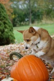 Pumpkin Causes Dog Diarrhea by 128 Best Dogs U0027n Pumpkins Images On Pinterest Animals
