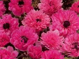 12 x pink poppy anemone st brigid the admiral tubers bulbs