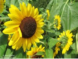 Stages Of Pumpkin Growth by Guide To Growing Sunflowers