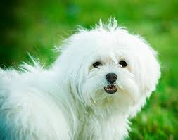 Best Mini Dogs That Dont Shed by Top 10 Miniature Dogs Care Com Community