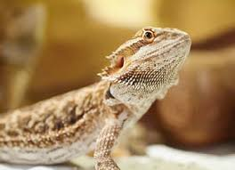 Bearded Dragon Heat Lamp Timer by Bearded Dragon Care Sheet Reptile Centre