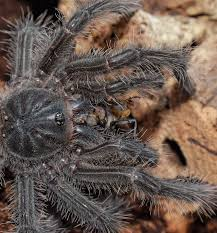 Do Tarantulas Shed Their Fangs by My T U0027s Page 2 Arachnoboards
