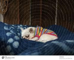 süßer verschlafener chihuahua hund schläft oder schläft auf