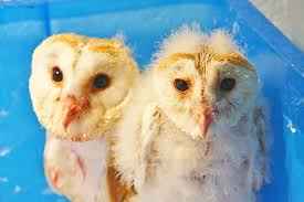 Twit Twoo - Barn Owls Chicks Delight Guests At Buckland Court Barn Owl Focus On Cservation Best 25 Baby Ideas On Pinterest Beautiful Owls Barn Steal The Show As Day Turns To Night At Heartwood Family Ties Owl Chicks Let Their Hungry Siblings Eat First The Perch Uncommon Banchi Baby Coastal Home Giftware From Horizon Stock Image Image Of Small Young Looking 3249391 You Know Birdnote Banding By Alex Lamoreaux Nemesis Bird