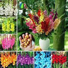 aliexpress buy true gladiolus bulbs gladiolus flower not