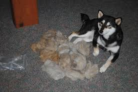 do shiba inus shed hair now that it s shedding season the shiba inu forum