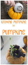 Atlantic Giant Pumpkin Growing Tips by Best 25 Pumpkin Plants Ideas On Pinterest Pumpkin Growing