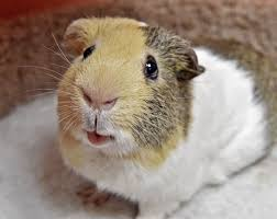 Shawns Pumpkin Patch Hours by Pet Of The Week Shawn The Guinea Pig Is Looking For A New Home