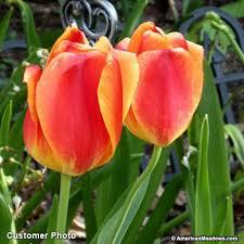 darwin tulip bulbs apeldoorn elite american
