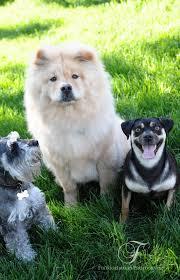 Do Miniature Pinschers Shed A Lot by Chow Chow Carlin Pinscher U0026 Miniature Schnauzer Kansas City Dog