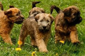 the soft coated wheaten terrier playful irish ratter