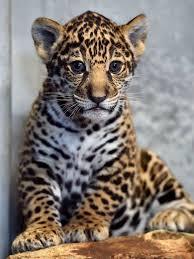 106 best Jaguar images on Pinterest