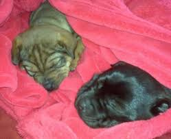 Do Shar Peis Shed A Lot by Sharp Eagle Dog Breed Information And Pictures