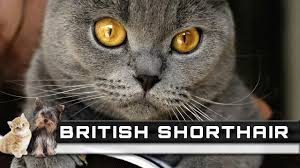 shorthair cat price shorthair cat breed overview facts traits and price